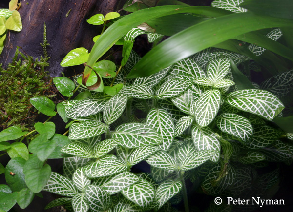 Fittonia sp.. Foto & Copyright: Peter Nyman